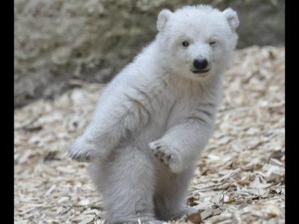 Polar Bear Battle-Ready