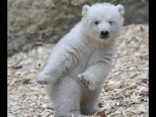 Polar Bear Battle-Ready
