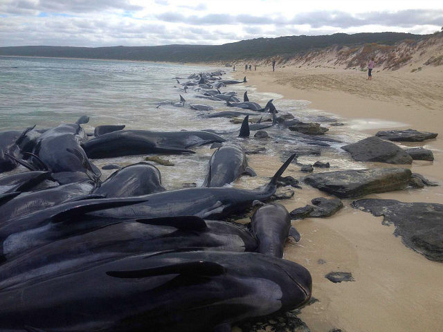Supplied image of more than 150 short-finned pilot whales who became beached at Hamelin Bay, in Western Australia's south, Friday, March 23, 2018. A shark warning has been issued after more than 150 short-finned pilot whales became stranded in Western Australia's south. About 75 whales have died after beaching themselves, …