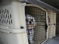 In this photo made Thursday, July 9, 2009, a dog waits in a kennel during a training session for Pet Airways in Omaha, Neb. On the first-ever all-pet airline started by husband-and-wife team Alysa Binder and Dan Wiesel, dogs and cats will fly in the main cabin of a Suburban Air Freight plane, retooled and lined with carriers in place of seats. (AP Photo/Dave Weaver)