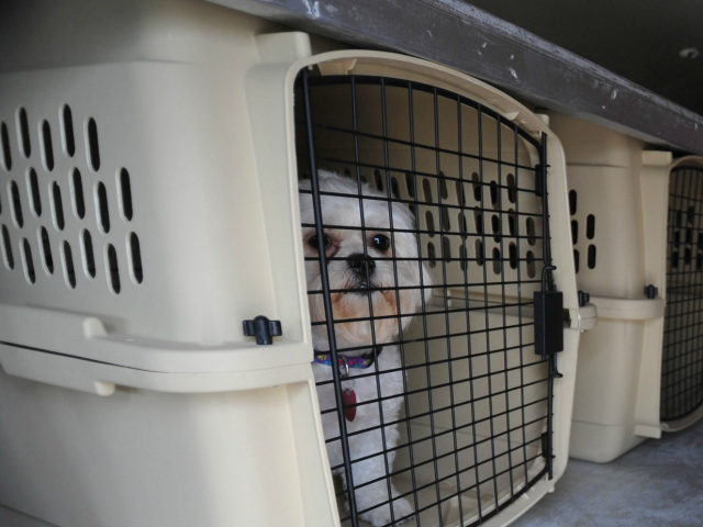 In this photo made Thursday, July 9, 2009, a dog waits in a kennel during a training session for Pet Airways in Omaha, Neb. On the first-ever all-pet airline started by husband-and-wife team Alysa Binder and Dan Wiesel, dogs and cats will fly in the main cabin of a Suburban …