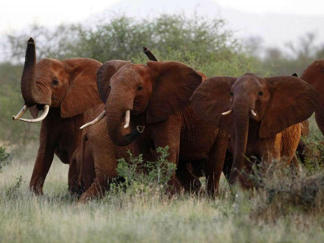 In this March 9, 2010, file photo, elephants use their trunks to smell for possible danger in the Tsavo East national park, Kenya. The Trump administration has quietly decided once again to allow Americans to import the body parts of African elephants shot for sport, despite presidential tweets decrying the …