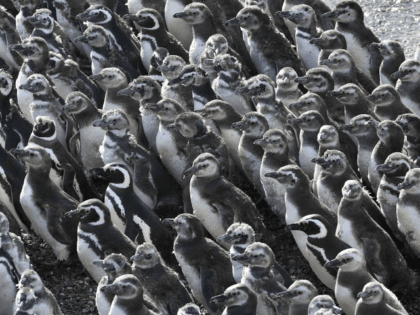 Penguins pack on a beach at Punta Tombo peninsula in Argentina's Patagonia, on Friday, Feb. 17, 2017. Drawn by an unusually abundant haul of sardines and anchovies, over a million penguins visited the peninsula during this years' breeding season, a recent record number according to local officials. Punta Tombo represents …