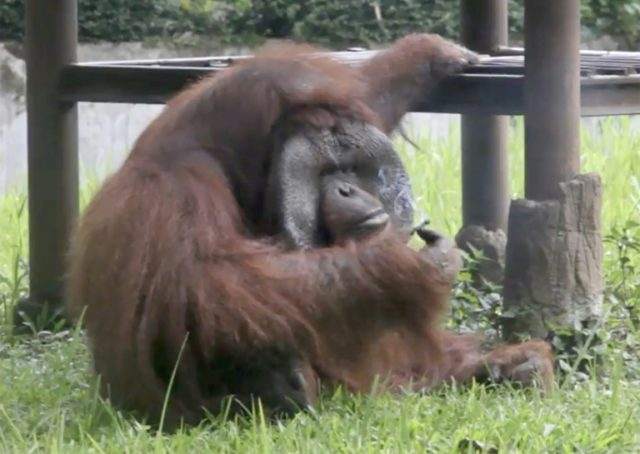 Apeing the visitors...an orangutan picks up bad habits at Bandung zoo