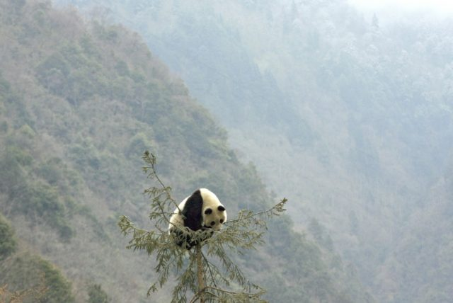 The Chinese park plans are aimed at enabling wild pandas that are currently isolated in several different areas of Sichuan, Shaanxi and Gansu provinces to mingle and hopefully breed