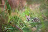 The eastern quoll has been re-introduced to the east coast of Australia after a 15-year project to bring feral predators in one area under control
