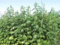 Marijuana Cultivation Damaging California Water Supply