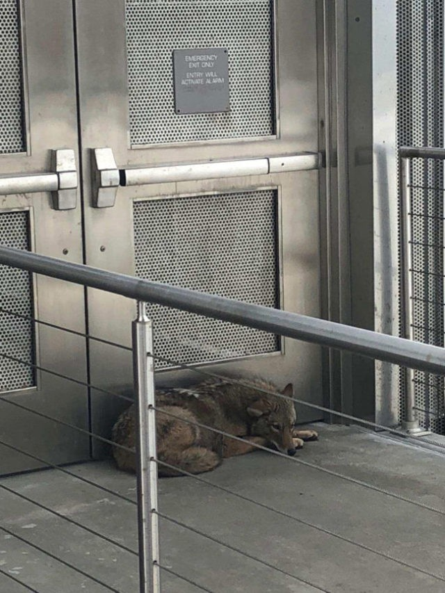 Coyote found on museum's outdoor mezzanine tranquilized