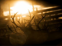 A reindeers herd belonging to the Sami people of Vilhelmina Norra Sameby is gathered in a corral for transportation after a process of selection and calf labelling on October 28, 2016 near the village of Dikanaess, about 800 kilometers north-west of the capital Sweden. / AFP / JONATHAN NACKSTRAND (Photo …
