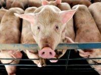 Iowa pig farm