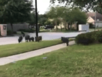 WATCH: Wild Hogs Storm Houston Suburb