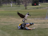 Watch: Goose Attacks Michigan High School Golfer