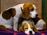 BIRMINGHAM, ENGLAND - MARCH 13: A pair of Beagles rest on a bench on the final day of Crufts 2016 on March 13, 2016 in Birmingham, England. First held in 1891, Crufts is said to be the largest show of its kind in the world, the annual four-day event, features …