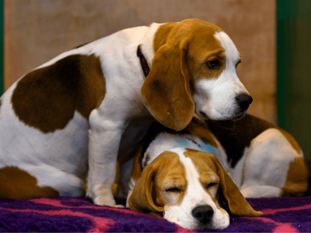 Report: Fauci's NIH Division Partially Funded Insects Eating Beagles Alive