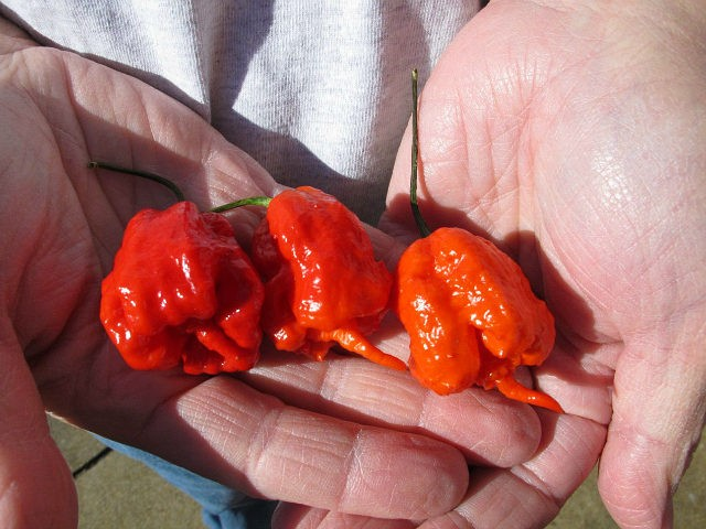 Ed Currie holds three Carolina Reaper peppers in Fort Mill S.C. Last month The Guinness Book of World Records decided Currie's peppers were the hottest on Earth ending a more than four-year drive to prove no one grows