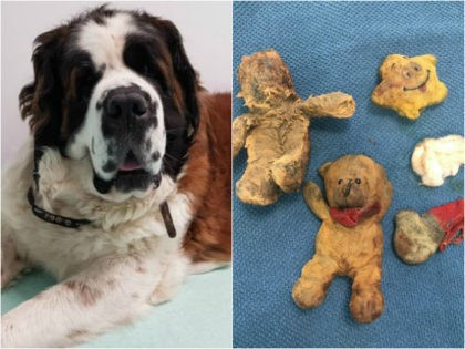Dog Having Cancer Surgery Had Stuffed Animals Removed Instead