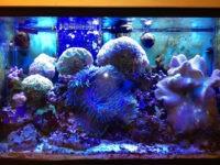 fish tank coral