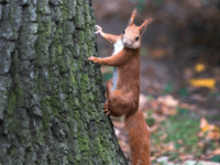 A squirrel walks at at tree in Dreseden, eastern Germany, on September 18, 2017. / AFP PHOTO / ZB AND dpa / Arno Burgi / Germany OUT (Photo credit should read ARNO BURGI/AFP/Getty Images)