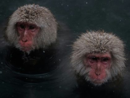 "Japan's ""snow monkeys"" are known for their love of hot springs in the country's northern Nagano region, with tourists flocking to photograph the mediating macaques soaking in steaming baths"