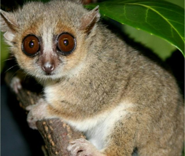 Researchers found that calorie-restricted mouse lemurs live longer than those with a standard diet