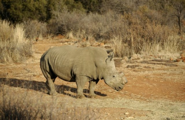 Chinese man jailed by Dutch court for smuggling rhino horn
