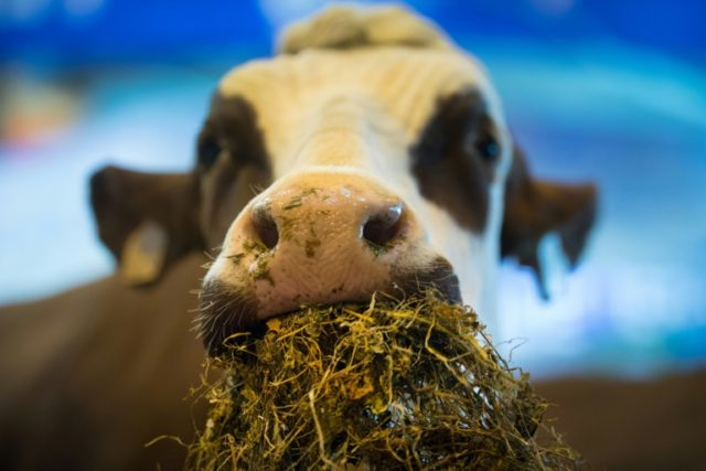 Malaysian state wants Koranic recitals for cows