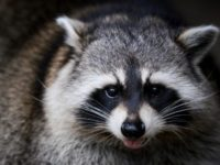 Raccoons' bizarre behavior gets locals' attention in US