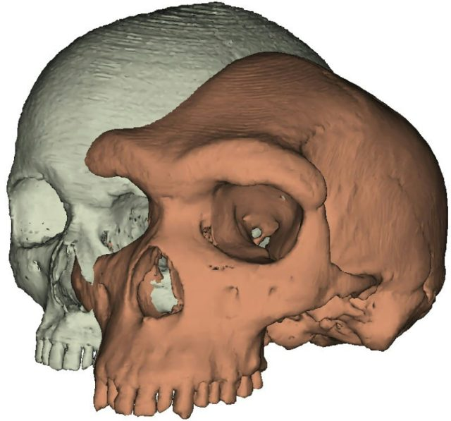 This University of York image shows the brow ridge of a fossilised skull of Homo heidelbergensis, whose ability to raise an eyebrow in distrust or to furrow it in sympathy may have given our species an evolutionary edge