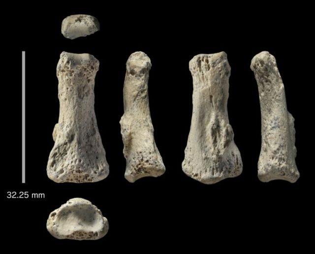 This handout image obtained from the University of Oxford/ Max Planck Institute shows fossil finger bones of Homo sapiens from Al Wusta, Saudi Arabia, a discovery that suggests modern humans had penetrated deep into Arabia already 85,000 years ago