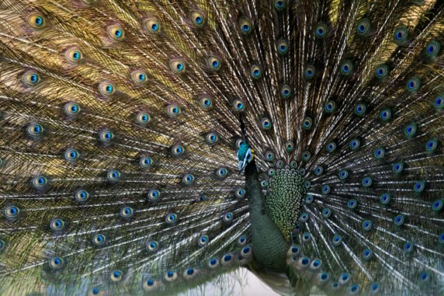 Showy traits such as the elegant peacock's tail, or a lion's bushy mane -- males will go to extravagant lengths to woo the opposite sex, but that can cost some species their very survival, latest research says