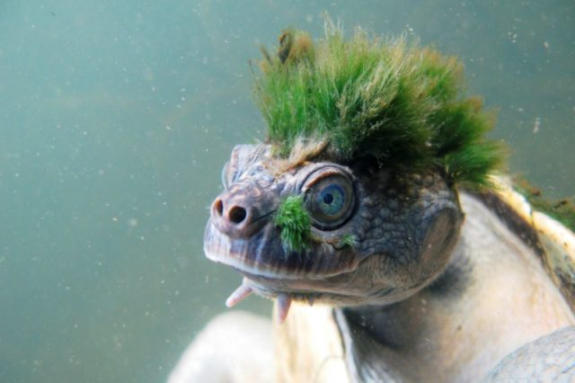 The Australian Mary River turtle, with its punk hairdo