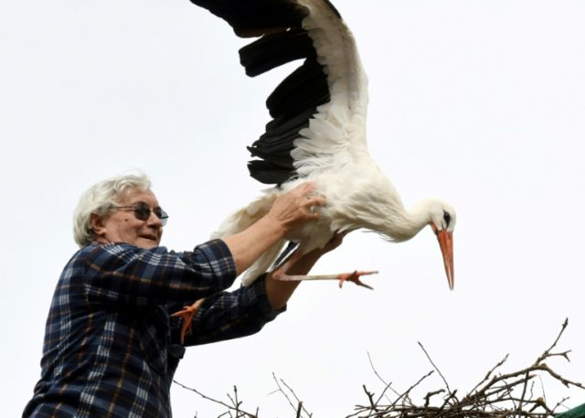 Stjepan Vokic adopted the injured stork Malena in 1993