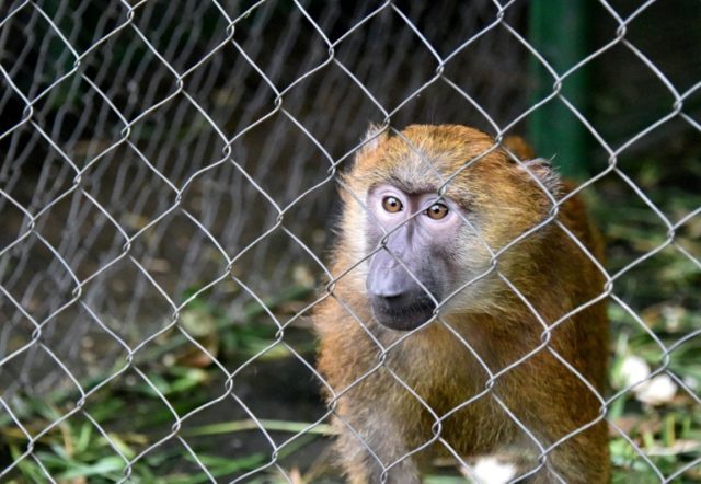 Three baboon, similar to this one pictured in 2014, escaped a Texas biomedical research facility, but were recaptured within 30 minutes