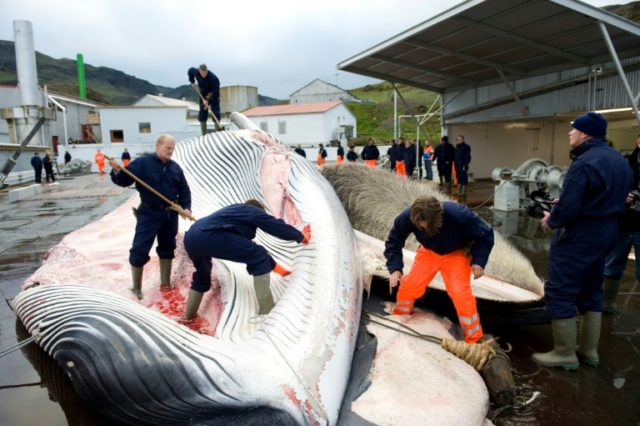 Icelandic whaling company Hvalur, whose employees are pictured cutting open a 35-tonne Fin whale in 2009, will begin hunting the endangered species again in June