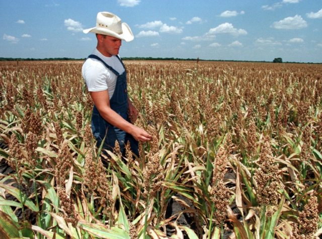 A sorghum field in Texas: Chinese anti-dumping duties could hit US farmers