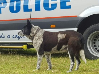 Australian dog receives police honours for keeping lost child safe