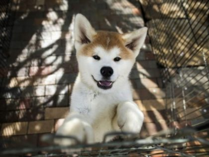 In recent years, foreign ownership of Japan's Akitas has skyrocketed, outstripping domestic demand for the fluffy, perky-eared pooches