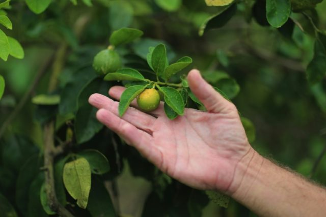 Trees with citrus greening disease produce stunted fruit that don't ripen and are bitter before losing their leaves and dying
