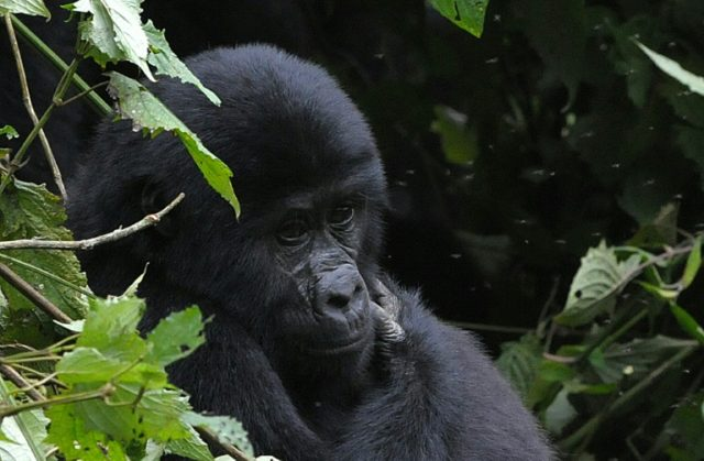 About 60 percent of all known gorillas and 43 percent of chimpanzees live in the Republic of Congo, sometimes called Congo-Brazzaville