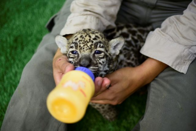 The jaguar cubs frolic and play with their caretakers -- who feed them through baby bottles -- but in three months' time they will be too large and dangerous to approach