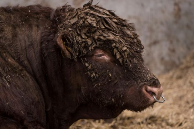 The escaped bull in Peru was ultimately returned to its enclosure by city officials