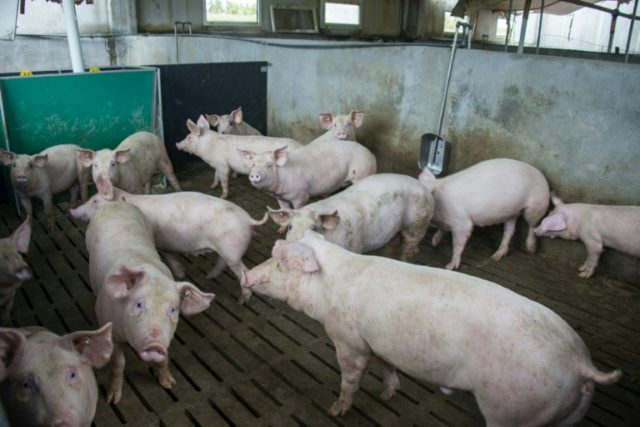 The researchers restored blood supply to the dead pigs' brains