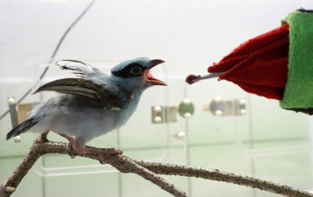 Prague zookeepers use puppet to raise endangered magpie