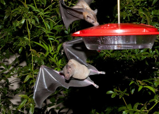 Bat key to tequila trade gets off US endangered species list