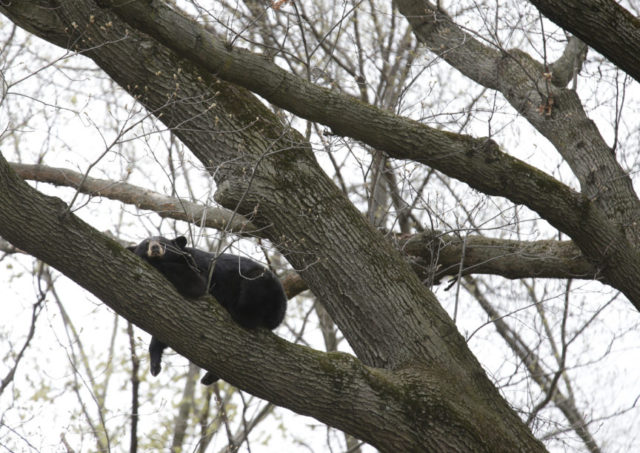 Crews use noisemakers to try to rouse bear in tree near home