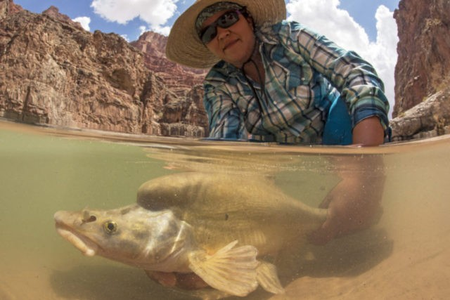 Scientists hope bug experiment fattens Colorado River fish