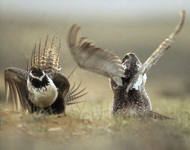 Lawsuits target oil, gas leases in imperiled bird's habitat