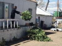 An investigator tosses marijuana plants outside an illegal grow operation in north Denver early Thursday, April 14, 2016. Investigators have raided several homes and warehouses throughout the Denver area as part of a multi-state investigation into the illegal distribution of marijuana outside Colorado. (AP Photo/Sadie Gurman)