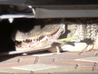Texas Gator Squad captures 7-ft alligator from driveway of Houston-area home. (Photo: KTRK ABC13 Video Screenshot)