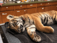 Tiger cub found by Border Patrol agents after failed smuggling attempt. (Photo: U.S. Border Patrol)
